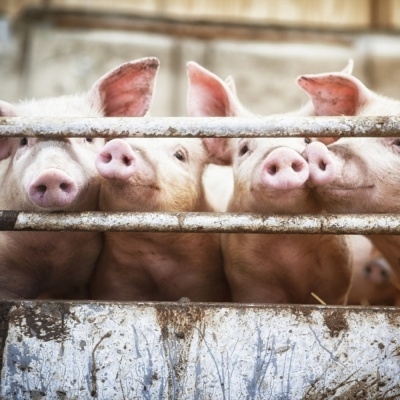 NI authorities find African swine fever DNA in illegal import