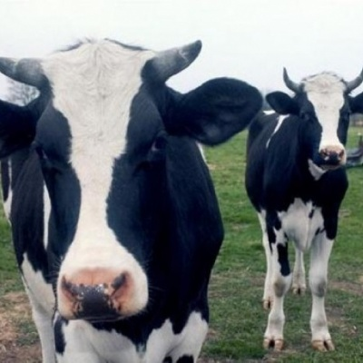 New blood test for bovine TB accepted for exceptional private use in UK