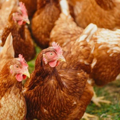 Bird flu outbreak identified in Norfolk