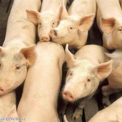 Hysolv Animal Health UK lance un vaccin supplémentaire contre la grippe porcine