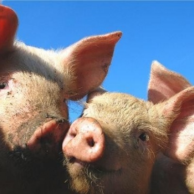 Skin grafts from pigs 'could be used in burn treatment'