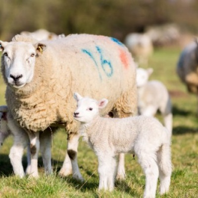 BVA raises concerns over rise in animals slaughtered without stunning