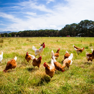 MSD Animal Health launches new Exzolt treatment for poultry red mite infestations