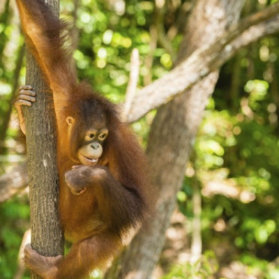 Norbrook Laboratories to support Bornean Orangutan Survival Foundation